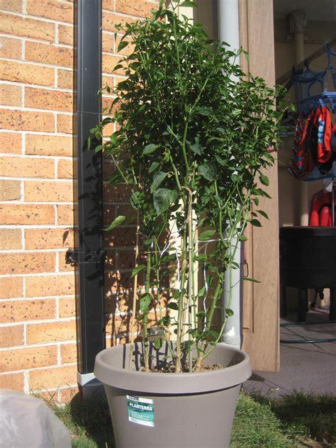 forum chilli plants