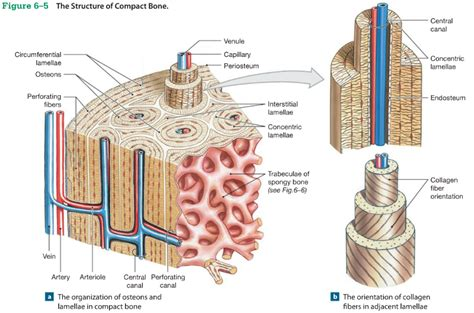 osseous tissue diagram compact bone osteon quotes