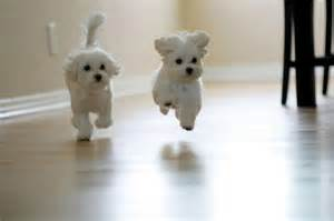 Dog Runners For Backyards Cutest Maltese Pictures List Of Cute Photos Of Maltese Dogs
