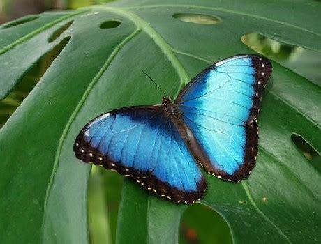 farfalla nera in casa significato nuovi sensori termici dalle ali delle farfalle