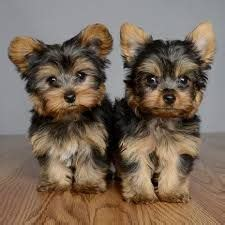 yorkie diet to lose weight 25 best ideas about terriers on terrier puppies