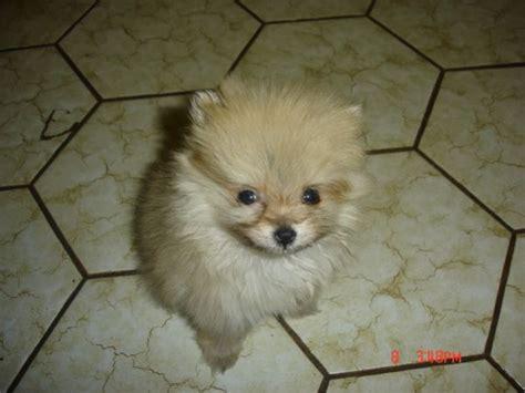 2 month pomeranian fs 2 month pomeranian puppy