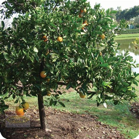 good backyard trees triyae com good fruit trees for backyard various design inspiration for backyard
