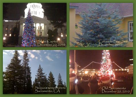 christmas tree lots in sacramento carmichael area geno s garden design coaching getting to your evergreen trees