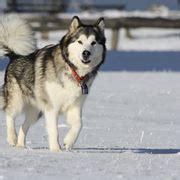 alimentazione alaskan malamute alaskan malamute cani taglia grande caratteristiche