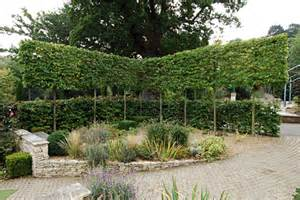 Rose Topiary Trees - pleached walks tunnels and arbours rhs gardening