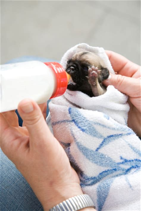 how to feed a puppy how to bottle feed puppies