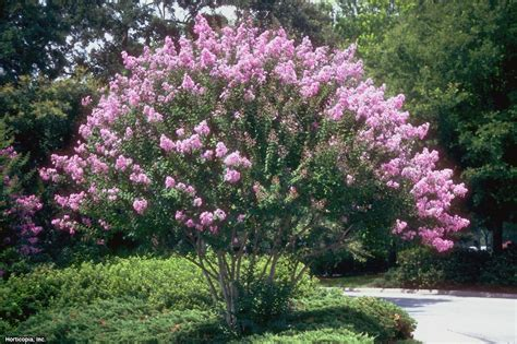 flowering trees and shrubs choosing the right crape myrtle for your landscape hgtv