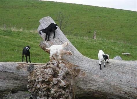 Ideas for a goat playground? BackYardHerds.com