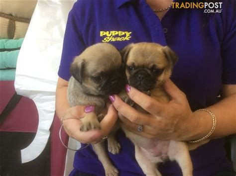 pug puppies for sale in brisbane pug puppies at puppy shack brisbane for sale in brisbane qld pug puppies at puppy