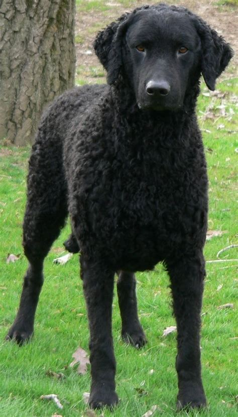 Curly Coated Retriever Dog | CURLY COATED RETRIEVER ...