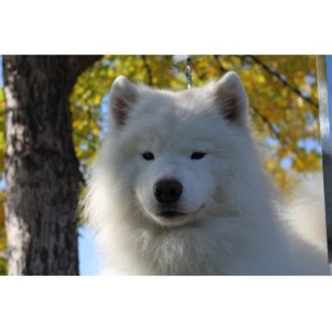 samoyed puppies for sale oregon samoyed breeders in the usa and canada freedoglistings