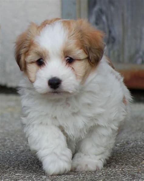 coton puppy pictures coton de tulear breed pictures