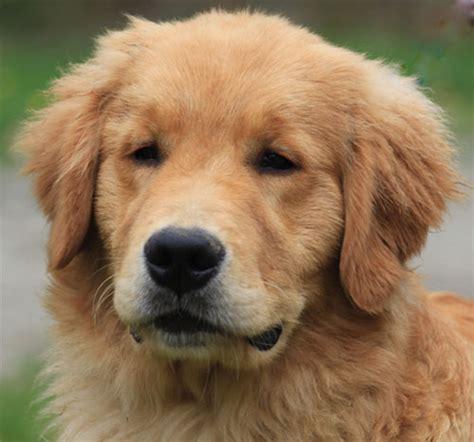 gollie puppies designer dogs disaster or success doglistener