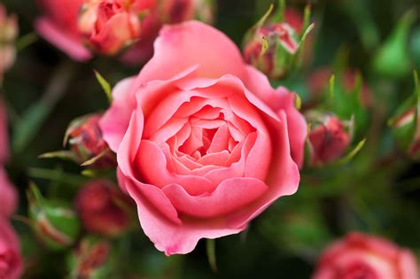 plant a bare root rose project gardenersworld com