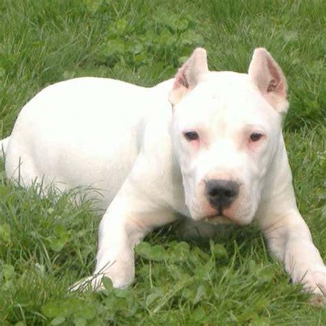 bully kutta puppies pin bully kutta breed information ajilbabcom portal on