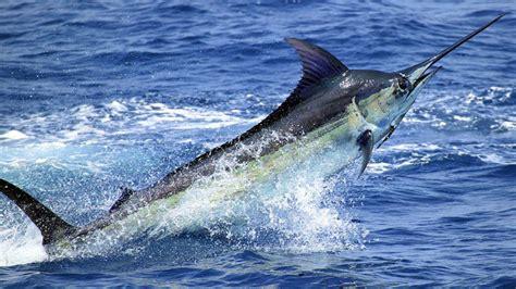 image gallery pez marlin