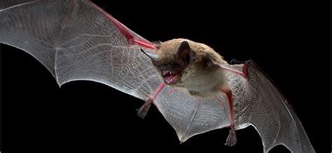 mammifero volante l uomo come il pipistrello usare il radar per muoversi