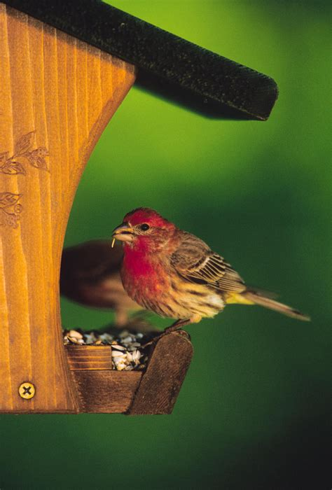 house finch facts fun facts about house finches wild birds unlimited