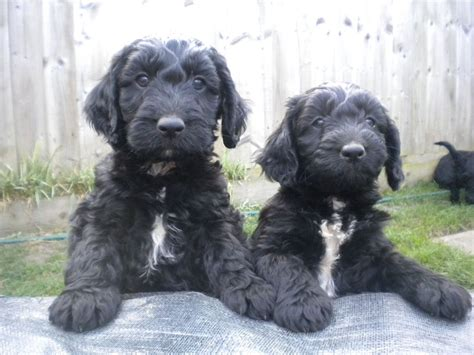 sproodle puppies sproodle pups swindon wiltshire pets4homes