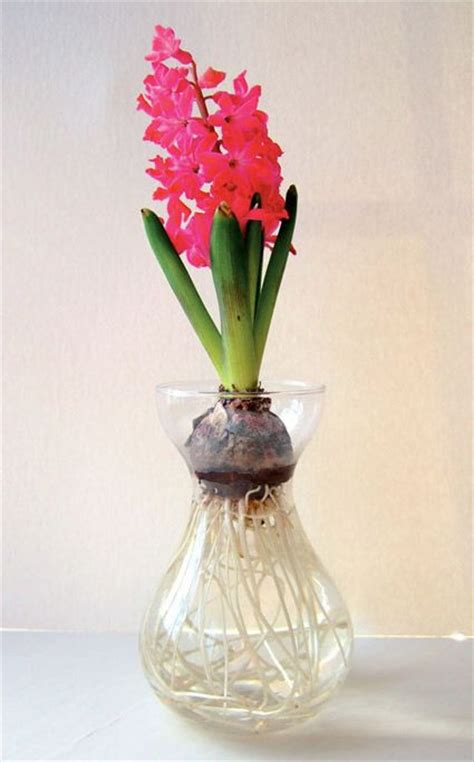 Hyacinth Forcing Vase by 1000 Images About Bulb Forcing On Flower