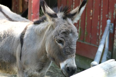 Burro Animal by Free Stock Photo Domain Pictures