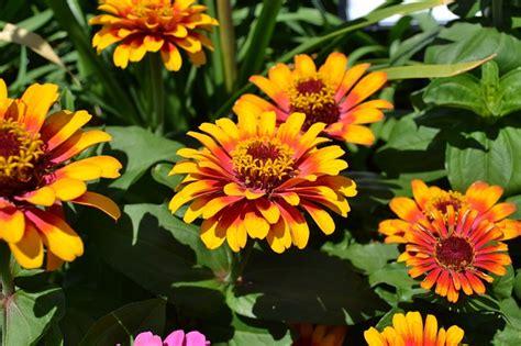 fiori autunnali 5 fiori autunnali facili da coltivare tuttogreen