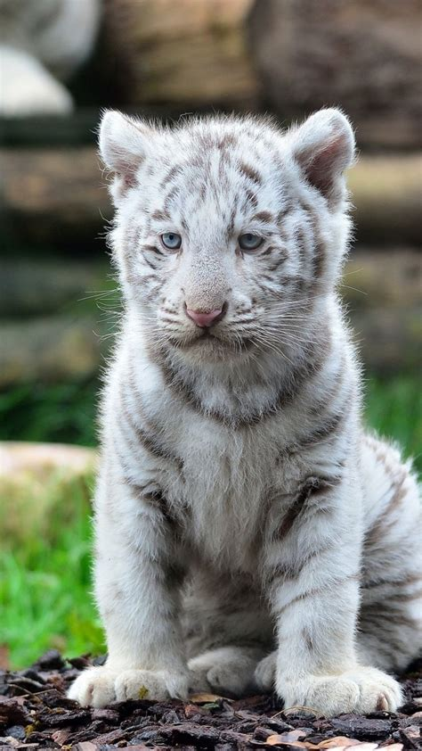 top 25 ideas about tiger on white images of white tiger cubs www pixshark images