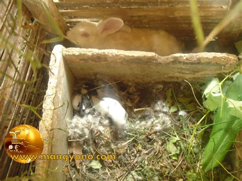 Sisir Untuk Kelinci pembuatan kotak untuk beranak kelinci mang yono