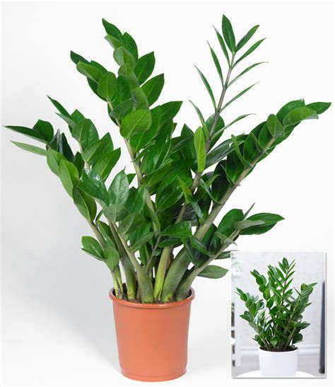 zamioculcas giftig zamioculcas 1a zimmerpflanzen kaufen baldur garten