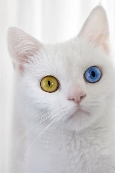 cats with different colored 1000 images about different colored eyed animals on