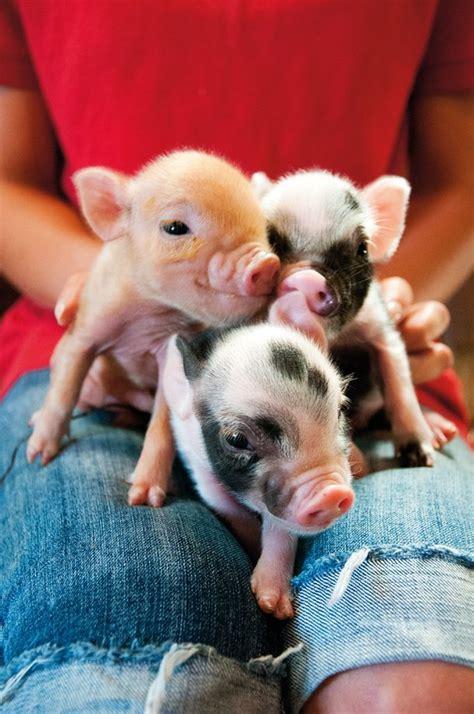 are teacup pugs real best 25 teacup piglets ideas on baby piglets teacup pig and baby teacup pigs