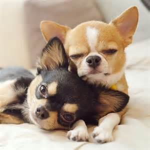Nice Bathroom Ideas smallest breed in the world the sweet of chihuahuas