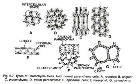 parenchyma tissue diagram types of permanent tissues 2 types with diagram plants