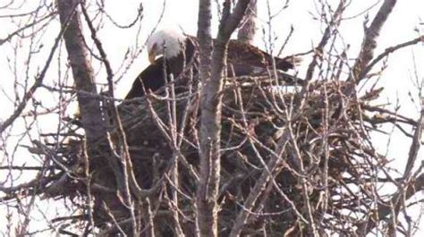 Calendar 64 Cook County Bald Eagles Spotted In Palos Township Forest Preserve
