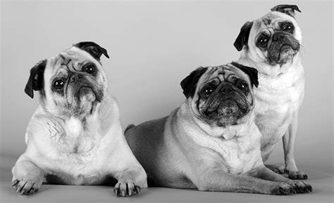 the order of the pug the honorable gentlemen of the order of the pug