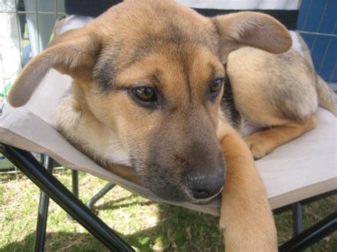 german shepherd and pitbull mix puppies german shepherd pitbull mix breeds picture