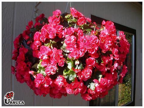 begonie in vaso 218 rsula gartencenter produtos flor em vaso begonia