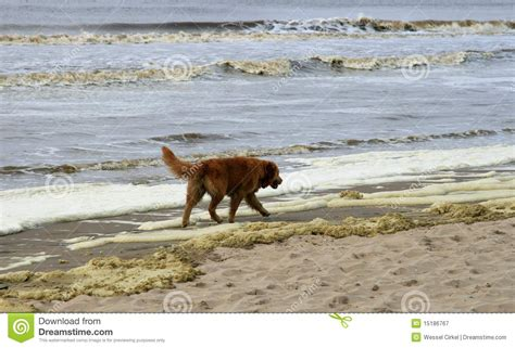 golden retriever walking golden retriever walking along the sea royalty free stock photography image 15186767