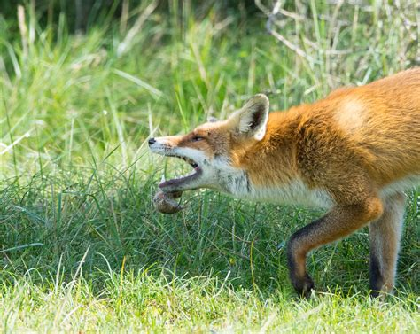 get rid of foxes in backyard how to get rid of foxes fox removal havahart 174