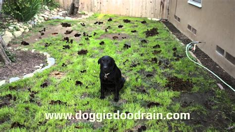 how to keep dogs from pooping in the house dog poop clean up solution youtube