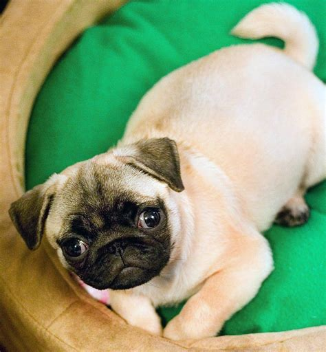 pug images in hd pug hd wallpapers high definition free background