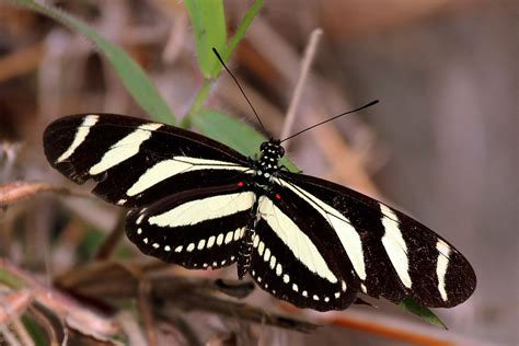 Plus Black Butterfly L heliconius charithonia