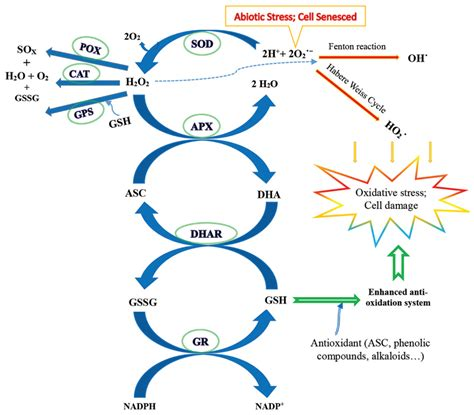 Cellar Antioxidant Defense And Detoxication System In The by Frontiers Response And Adaptation Of Photosynthesis