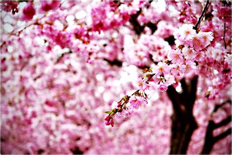 wallpaper hp kekinian gambar wallpaper bunga sakura jepang cantik caption
