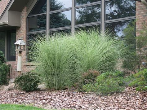 exquisite landscaping ideas with tall grasses for landscape grass bring me a shrubbery