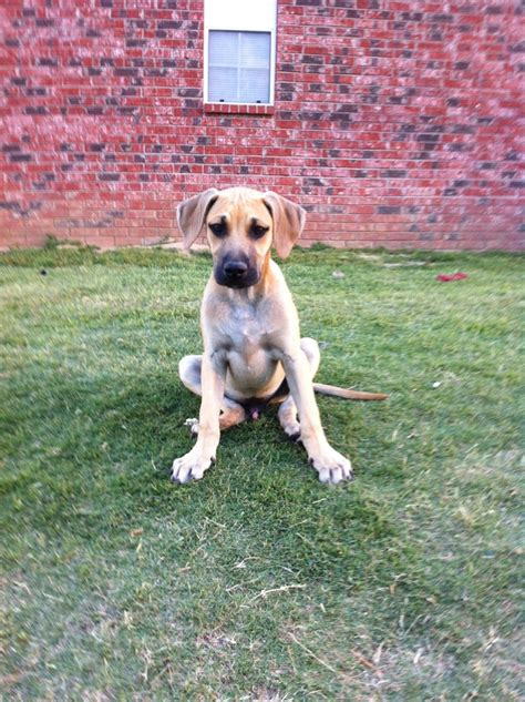 cur puppies for sale black cur breed profile facts and information breeds picture
