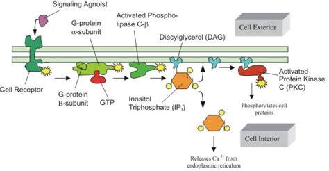 g protein activation steps reviews in undergraduate research issue 1 barron