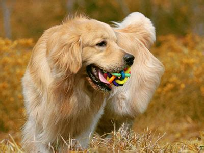 hypoallergenic golden retriever large breeds boy s caninecyclopedia