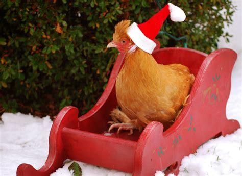 chicken santa google search christmas wonderland christmas